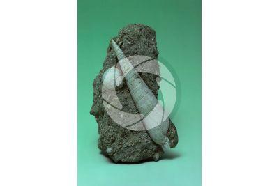 Subula fuscata. Gasteropode. Fossile. Pliocene