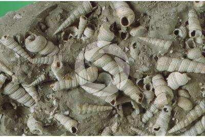 Turritella turris. Sea snail. Fossil. Miocene