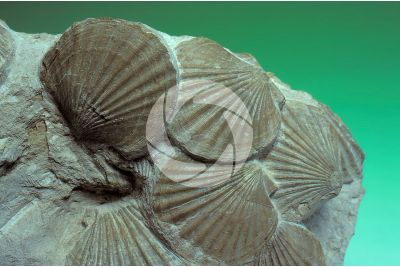 Pecten flabelliformis. Bivalve. Fossil. Eocene
