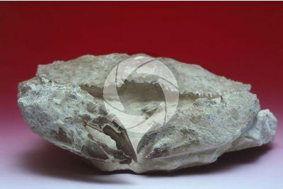 Zanthopsis vulgaris. Crostaceo. Fossile. Oligocene