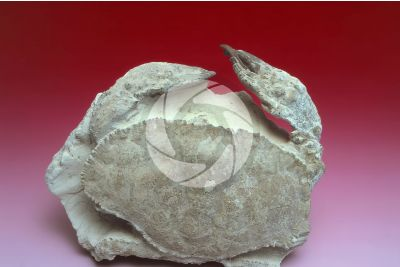 Zanthopsis vulgaris. Crustacean. Fossil. Oligocene