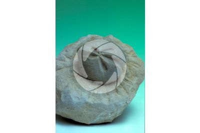 Schizaster sp. Heart urchin. Fossil. Eocene