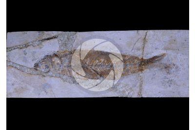 Clupea sp. Pesce. Fossile. Eocene