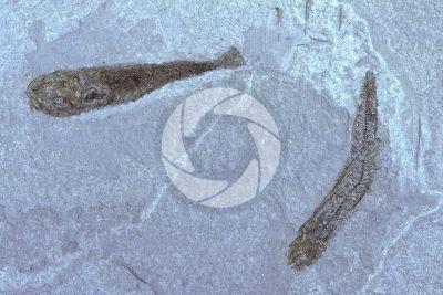 Pesce. Fossile. Eocene. Bolca. Veneto. Italia