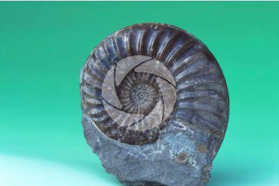Asteroceras sp. Ammonite. Fossil. Cretaceous