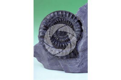 Echioceras sp. Ammonite. Fossile. Cretaceo