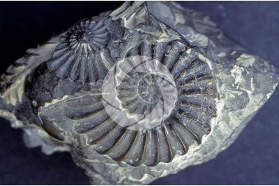 Ammonoidea. Ammonite. Fossil. Early Cretaceous. Aptian