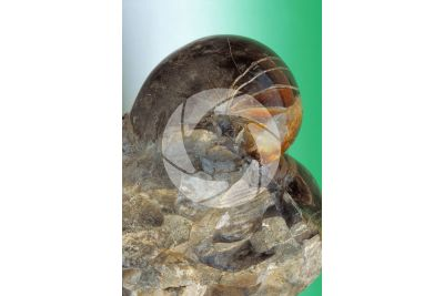 Nautilus sp. Nautilo. Fossile. Cretaceo