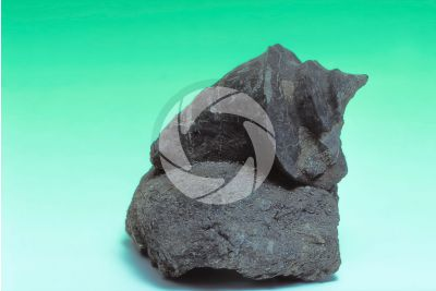 Gastropoda. Gastropod. Fossil. Cretaceous