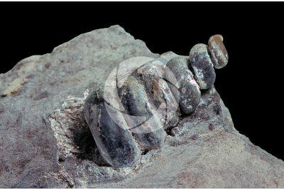 Gastropoda. Gasteropode. Fossile. Cretaceo