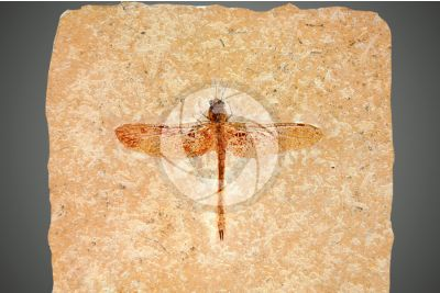 Insecta. Insetto. Fossile. Cretaceo
