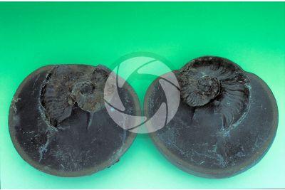 Amaltheus sp. Ammonite. Fossile. Giurassico inferiore