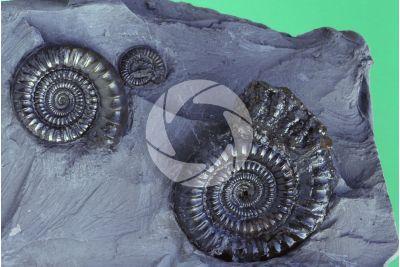 Echioceras sp. Ammonite. Fossile. Giurassico