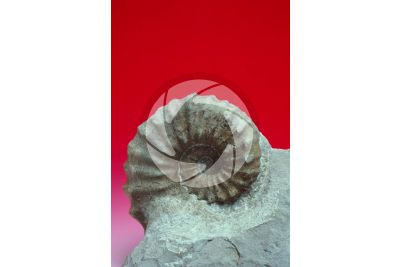Peltoceras athleta. Ammonite. Fossil. Middle Jurassic