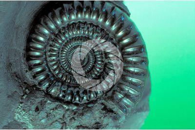Spiticeras sp. Ammonite. Fossile. Giurassico superiore