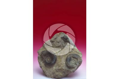 Ammonoidea. Ammonite. Fossil. Early Jurassic