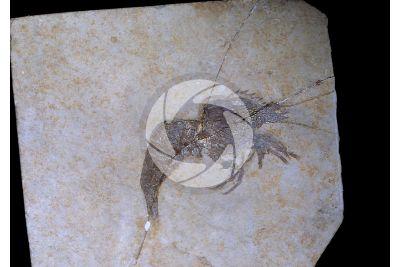 Drobna deformis. Crostaceo. Fossile. Giurassico superiore