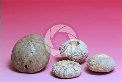 Echinodermata. Echinoderm. Fossil. Jurassic