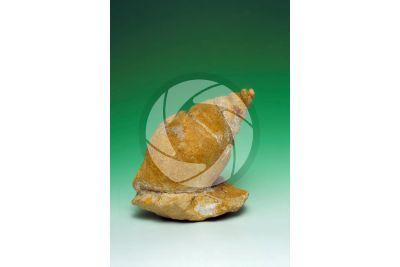 Gastropoda. Gastropod. Fossil. Late Jurassic