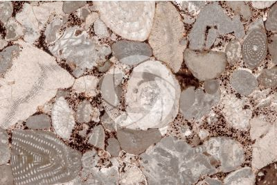 Bioclastic Limestone. Fossil. Thin section. 25X