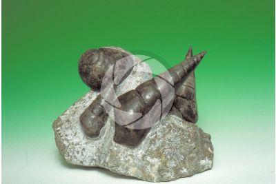 Chemnitzia sp. Gastropod. Fossil. Middle Triassic. Ladinian