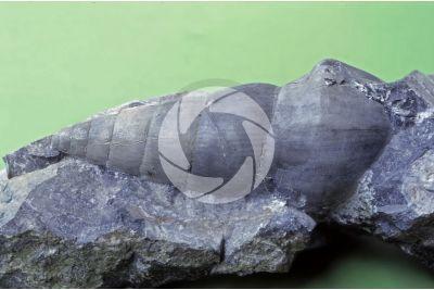 Chemnitzia sp. Gastropod. Fossil. Middle Triassic. Ladinian. Mount Menna. Lombardy. Italy