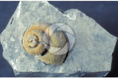 Gastropoda. Gastropod. Fossil. Late Triassic. Rhaetian