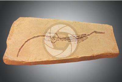 Mesosaurus brasiliensis. Reptile. Fossil. Permian