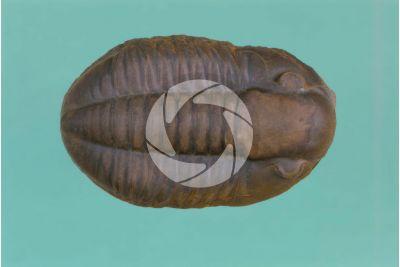 Trilobita. Trilobite. Fossil. Carboniferous