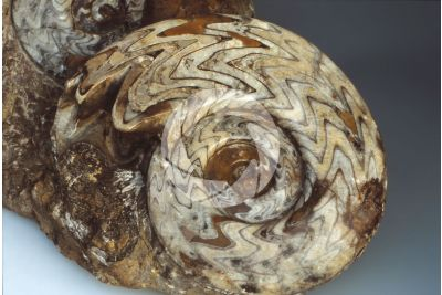 Gonioclimenia sp. Ammonite. Fossil. Devonian
