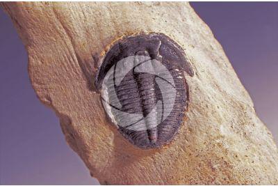 Phacops fecundus. Trilobite. Fossil. Devonian