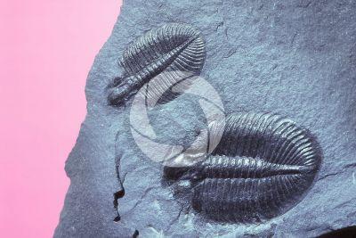 Trilobita. Trilobite. Fossile. Devoniano