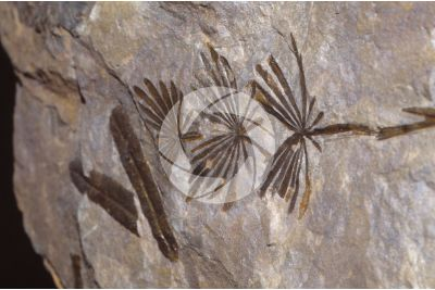 Plant. Fossil. Devonian
