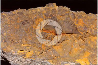 Brachiopoda. Brachiopod. Fossil. Silurian