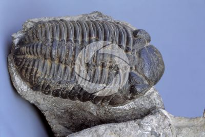 Trilobita. Trilobite. Fossil. Silurian