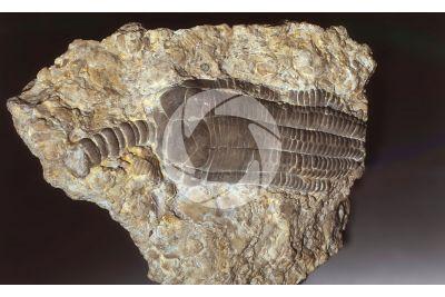 Echinodermata. Crinoide. Fossile. Ordoviciano