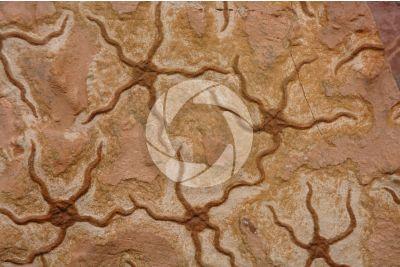 Echinodermata. Echinoderma. Fossile. Ordoviciano. Marocco
