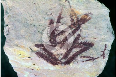 Phyllograptus sp. Graptolite. Fossil. Ordovician