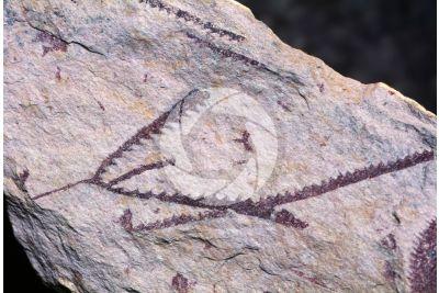 Phyllograptus sp. Graptolite. Fossile. Ordoviciano