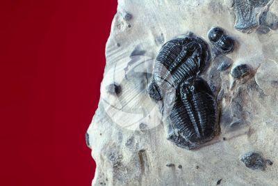 Homotelus bromidensis. Trilobite. Fossile. Ordoviciano