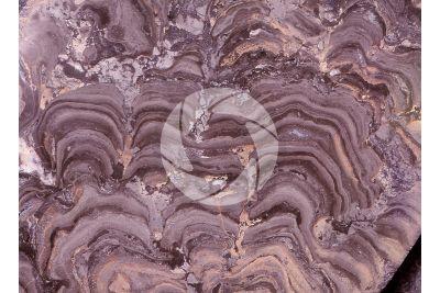 Stromatolite. Fossile. Cambriano