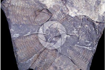 Trilobita. Trilobite. Fossile. Cambriano