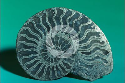Ammonoidea. Pyritised Ammonite. Fossil