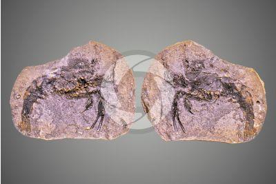Crustacea. Crostaceo. Fossile