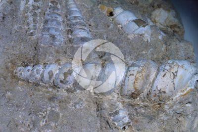 Gastropoda. Gasteropode. Fossile