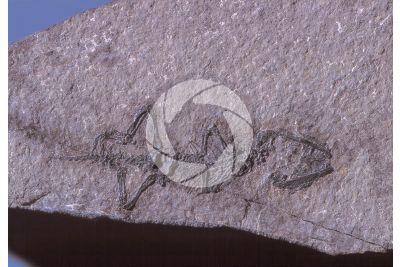 Rettile. Fossile