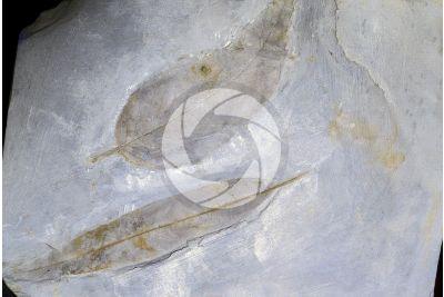 Foglia. Fossile