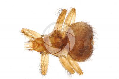 Crataerina pallida. Vista dorsale