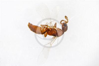 Scleroderma domesticum. Scleroderma domestico. Vista laterale