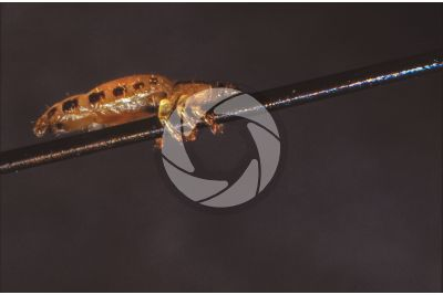 Pediculus humanus capitis. Head louse. Pediculosis. Lateral view